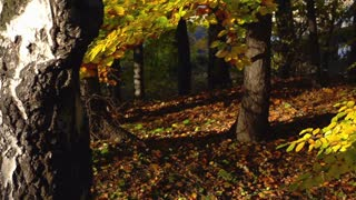 Forest in the autumnal season, steadycam shot, slow motion shot at 240fps