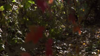 Leaves lying on the ground, steadycam shot, slow motion shot at 240fps