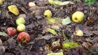 Rain falling on apples lying on the ground