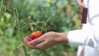 scientist injecting the antibiotic into the tomato