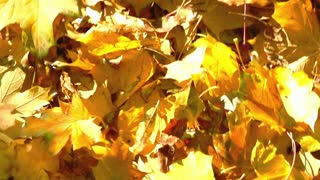 Someone walking on the ground full of leaves, steadycam shot, slow motion shot a