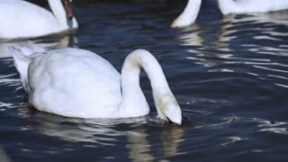 Swan looking for food in the river, steadycam shot, slow motion shot at 240fps