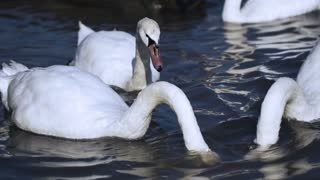 Swans looking for food in the river, steadycam shot, slow motion shot at 240fps