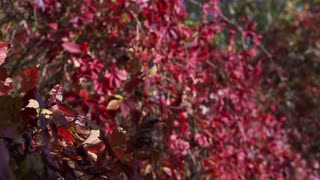 Trees with red leaves at autumn, steadycam shot, slow motion shot at 100fps