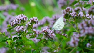 White butterfly sitting on flowering plant and moving, steadycam shot