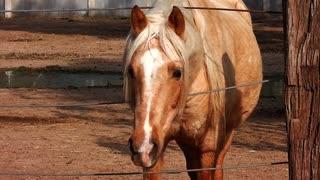 Golden horse in farm