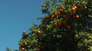 Orange tree-slider shot