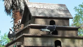Pigeon House and Pigeons