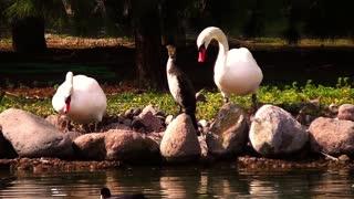 Swans near the lake