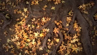 Tree roots and autumn leaves