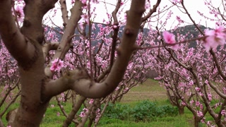Spring blossom, peach garden, peach blossom trees
