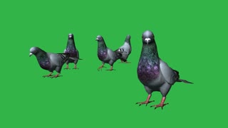 3d animation of Pigeons eat- separated on green screen