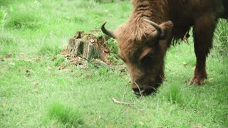 Bison is grazing in the forest in the wildlife