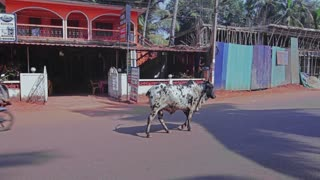 Cow walks in traffic on the road in India