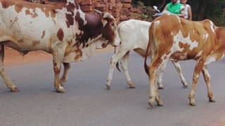 Cows crossing the road in India