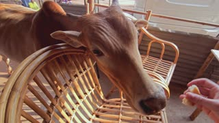 Girl feeds the cow in local cafe in India