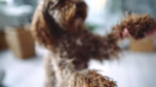 Girl plays with curly dog, smiling cur, dog stand on its hind legs, labradoodle playing