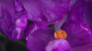 Spring purple flowers in macro