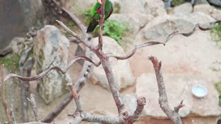 Beautiful exotic motley parrot climbs on the branch of the tree in tropical garden, asian birds, fauna of the tropical forest
