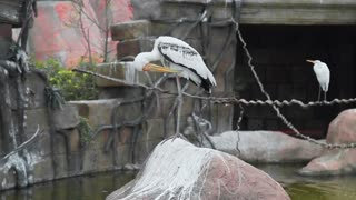 Big white heron stands on the rock and cleans feathers, wild birds, flora and fauna, big exotic birds