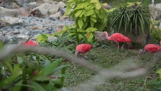 Exotic pink birds find food in the grass of the tropical forest, fauna of the jungle, beautiful birds, bright colors