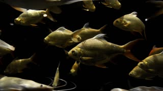 Golden carps and white catfishes swimming around in underwater dark, fishes in the nature habitat, fish in the river waters, underwater world