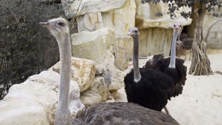 Ostriches run and peck each other, animals in the zoo, giant bird, close up of the ostrich , desert fauna, at the zoo