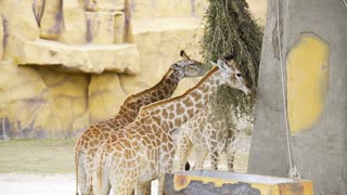 Pair of giraffes eat green branches at the zoo, animals in the safari park, giraffes with their tall necks in the tropical park, the tallest animal