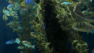 Striped fishes swim around rock reef under deep blue water, school of fish in the deep of the sea, blue waters, corals and reefs