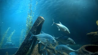 Tuna fishes swim in blue water near the old ship's wreckage, fishes in blue sea, ocean life under water, school of fishes