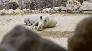 White rhinos lay in the dust and have a rest, animals in the zoo, rhinos in the tropical park, exotic african fauna, endangered animals