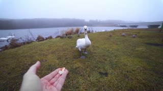 White swan eats from the man's hand near the lake in the wild, people feed birds, animals in wild life