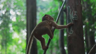 Young monkey goes down on the vine in jungle