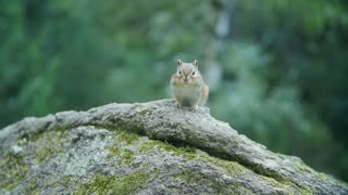 Adorable little chipmunk perched on a rock