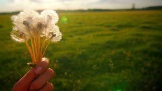 dandelion in the women hand