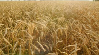 Golden wheat field with sun rays. can be used for agriculture and harvest themes