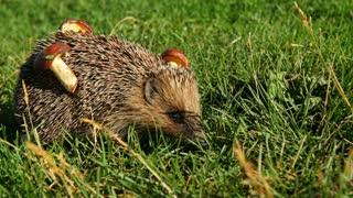 Hedgehog in the autumn forest curled. Mushroom on tenterhooks