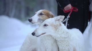 Two dogs Greyhounds winter forest