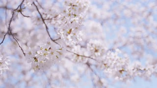 Changing focus between the flowers of a large blooming cherry blossom in gentle breeze