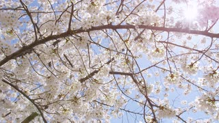 Cherry blossom branch swaying in breeze as sun shines through