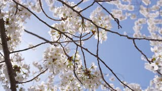 Closeup of blooming cherry blossom branches with sun shining through