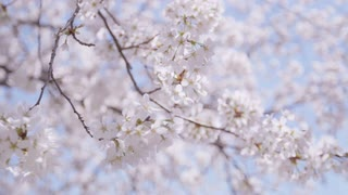 Closeup of cherry blossom branch swaying in breeze