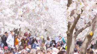 Closeup of cherry blossoms as tourist gather during Cherry Blossom Festival in Washington, DC
