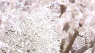 Closeup of cherry blossoms blowing in the wind