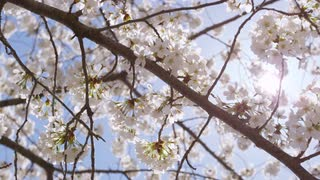 Closeup of sunlit cherry blossom branches moving in the breeze