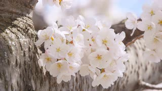 Closeup of white cherry blossom flowers in the breeze