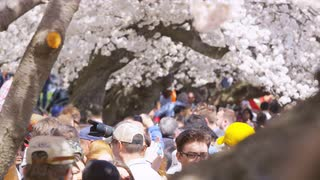 Crowds of people, many with cameras heading in multiple directions under cherry blossom trees during Cherry Blossom Festival in Washington, DC