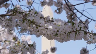 Focus change from white cherry blossom flowers to Washington Monument, Washington, DC, against blue sky