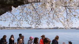 Large cherry blossom overhangs walkway as tourists pass by during Washington, DC Cherry Blossom Festival