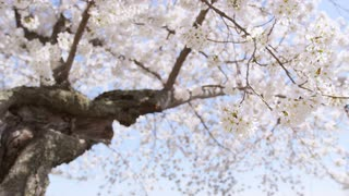 Low angle closeup of large cherry blossom rustling in breeze
